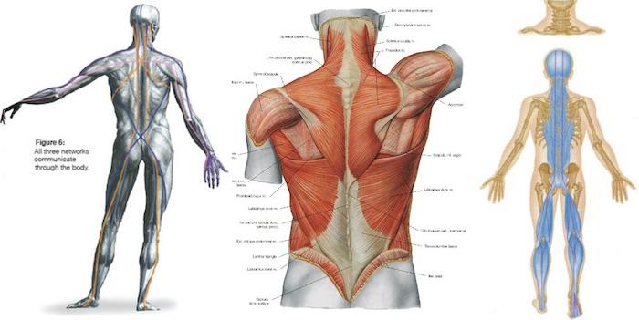 chaîne musculaire arrière