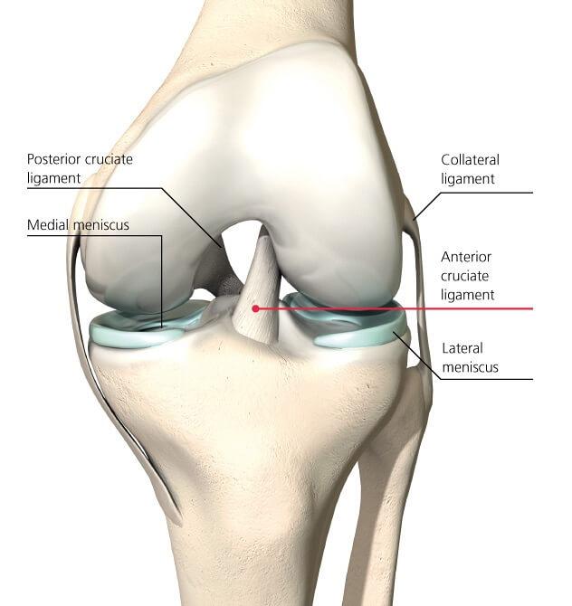 ligaments du genou
