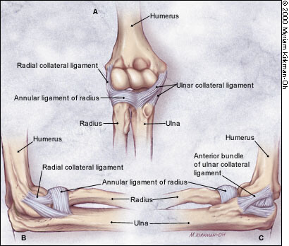 ligaments du coude