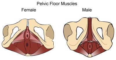 Planchers pelviens féminin et masculin